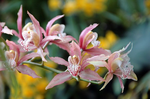 a photo of an orchid in washington dc botanic garden