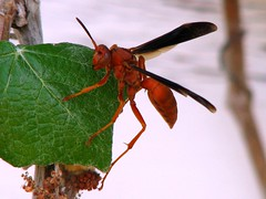 Red Paper Wasp (Polistes carolina) at St. Mary...
