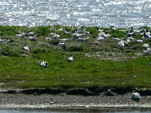 Terns, etc