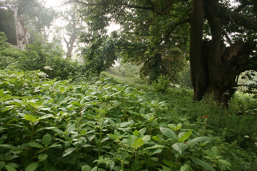 Himalayan balsam in foreground dominating the native vegetation
