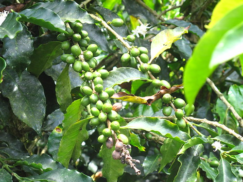 Unripe beans