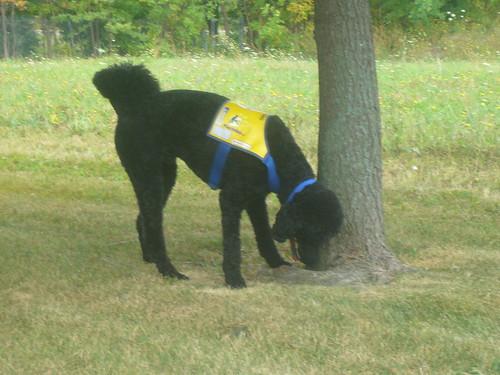 Yankee snuffelt aan een Canadese boom
