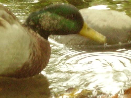 Halifax duck