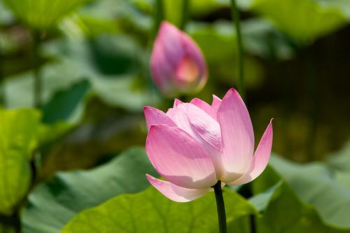 taipei botanical garden - lotus pond