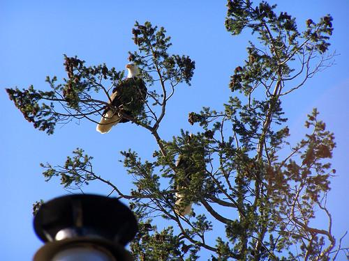 eagles overhead