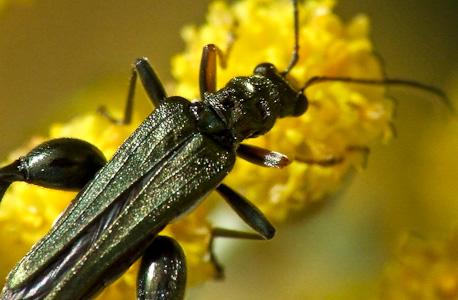 o escaravelho gosta de florzinhas