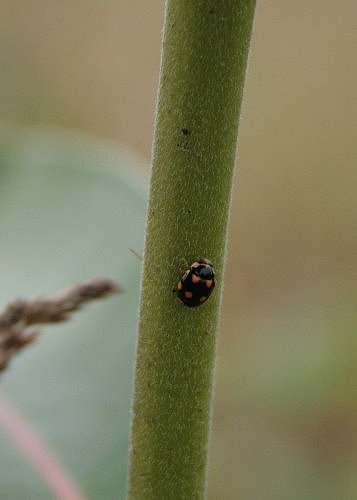 Orange-spotted Lady Beetle, Brachiacantha ursina