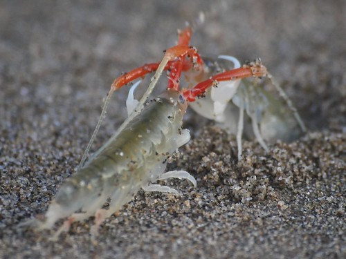 California Beach Hopper