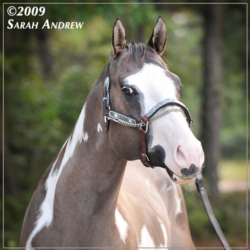Oh Justin Time: Silver Grullo Overo Paint Stallion