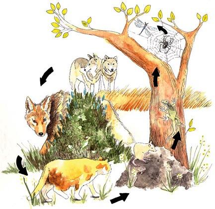A perda de predadores primários está causando uma explosão dos predadores secundários (mesopredadores) ao redor do mundo. Nesta imagem, o extermínio de lobos pode permitir que as populações de coiotes aumentem que, por sua vez, pode suprimir populações de gatos selvagens, levando ao aumento de roedores, etc.  Estes efeitos em cascata são mal compreendidos, mas estão causando perturbações em ecossistemas ao redor do mundo, dizem cientistas. (Ilustração de Piper Smith)
