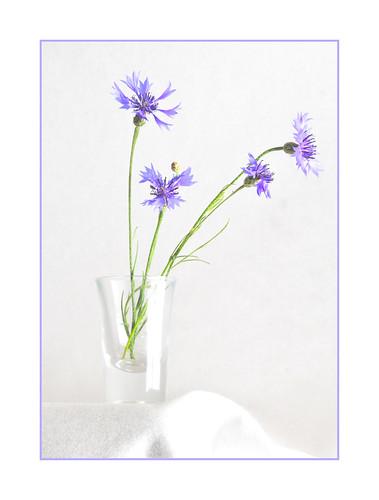 Centaurea cyannus
