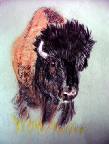 American Bison. Pastel drawing and photo: Ulla Hennig