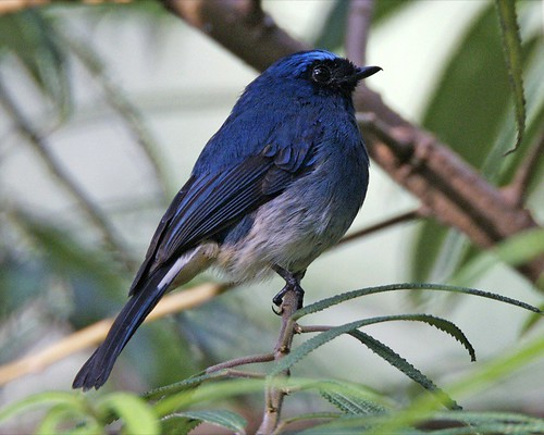 Indigo Flycatcher (Eumyias indigo) by Lip Kee.