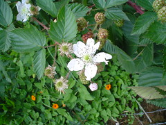 Flor de la morera