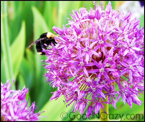 Allium and the Bee