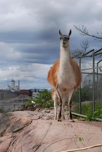 Guanako Im Zoo Helsinki