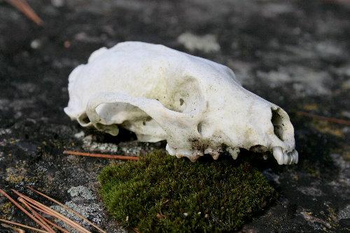 Red Fox? skull