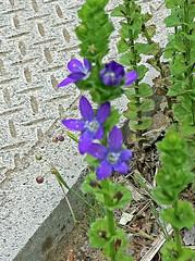 青山霊園のキキョウソウ(Flower, Aoyama Cemetery, Tokyo, Japan)