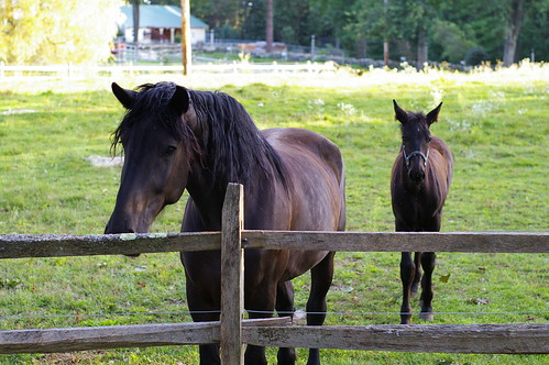Percheron mare and foal