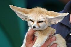 Fennec Fox (耳廓狐)