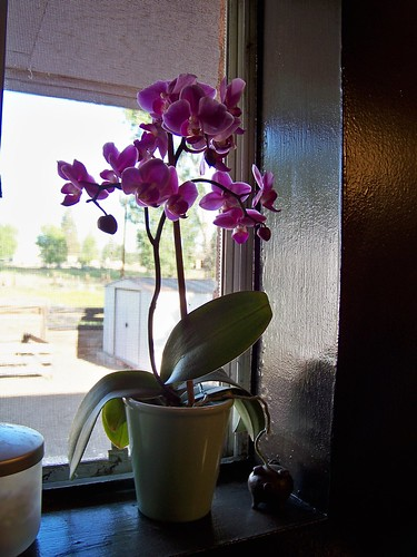 My blooming orchid!
