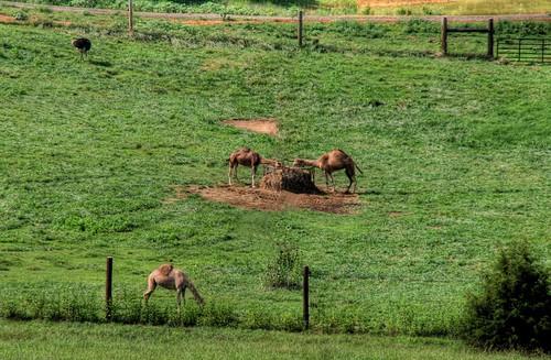 Blue Ridge Camels