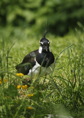 Lapwing by nickpix2010, on Flickr