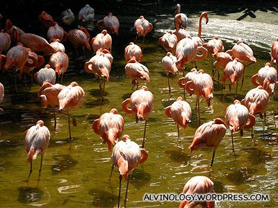 The flamingos enclosure
