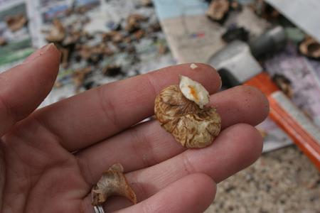 Walnut bits