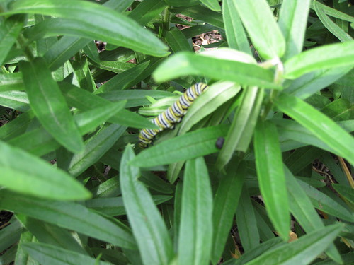 Caterpillar on butterfly weed