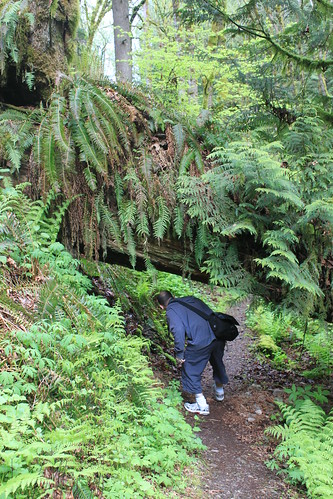 Cougar Mountain - Licorice Fern Trail - Ryan Ducks Under Fallen Tree