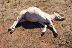 Brahman calf: Western Queensland 2007