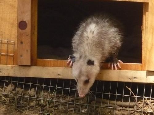 Opie, the Opossum