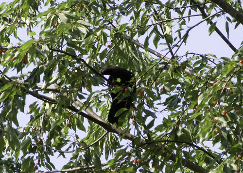 crow grooming