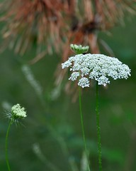 Queen Ann s Lace 02