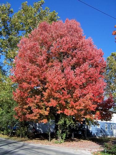 Autumn color in the neighborhood