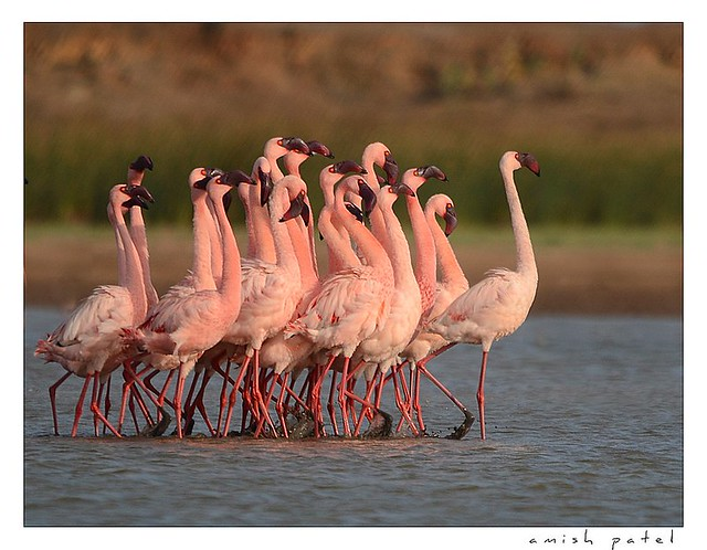 flamingo's courtship dance ( flame dance )