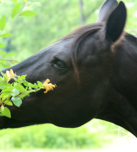 Eating Honeysuckle