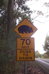 Driver beware - Wombats - (Near Daylesford Vic.)