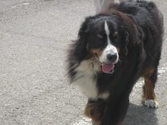 Oscar the Bernese Mountain Dog
