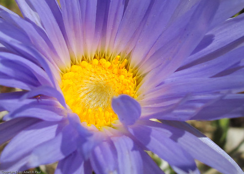 Mojave Aster by you.