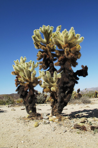 Jumping Cholla by you.