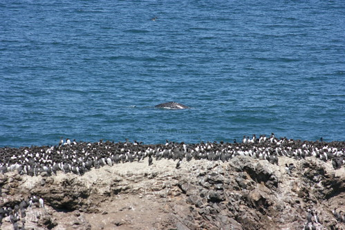 IMG_7524 - California Grey Whale Sighting