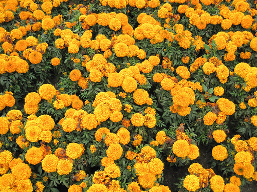Marigolds by you.
