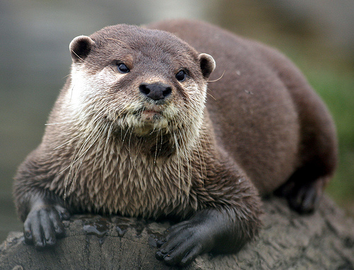 sage looking river otter on a log