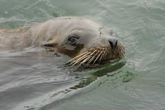 California Sea Lion swimming
