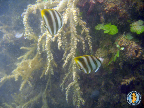 Kite butterflyfish