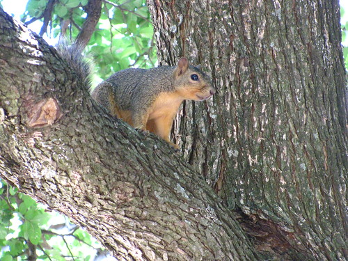 Scarborough Squirrel