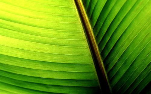 Banana Leaf Abstract. (Kodak Ektachrome E100VS. Nikon F100. Epson V500.)