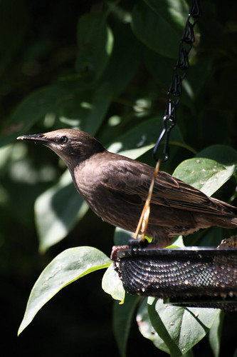 Sleek young starling